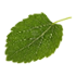 Mulberry leaf.png