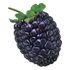 File:Mulberry.png